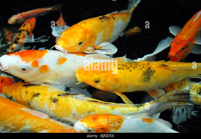 Japanese fishes stock photos japanese fishes stock for Koi fish water
