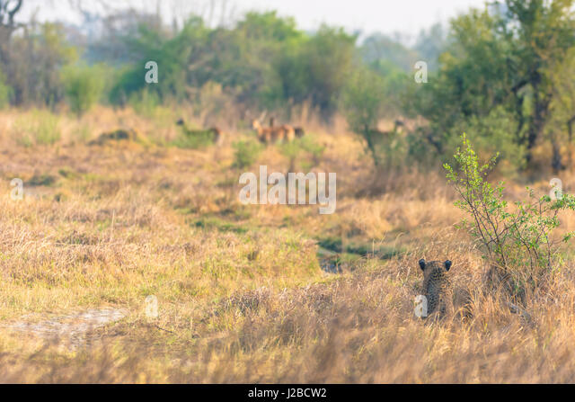 Botswana. Okavango Delta. Khwai Concession. Female leopard (Panthera pardus) in the tall grass stalking reedbuck. - Stock Image