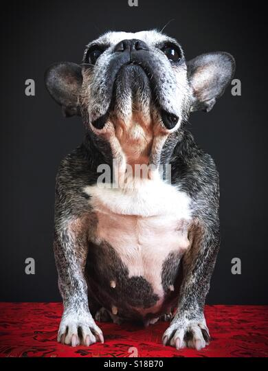 A cute old French bulldog looking up. - Stock Image