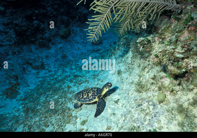 Immature Loggerhead Sea Turtle Swimming Underwater Resting on Ocean Bottom - Stock Image