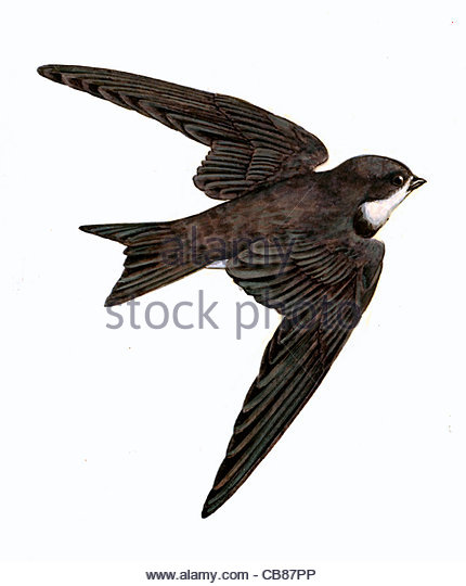 Sand Martin bird species Series Songbird - Stock-Bilder