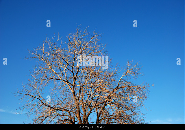 Tree without leafs against blue sky - Stock Image