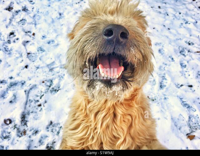 Happy fluffy snow dog - Stock Image