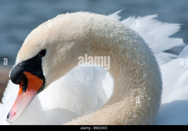 A shy looking mute swan - Stock Image