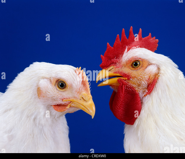 Hubbard Chicken Stock Photos & Hubbard Chicken Stock ...