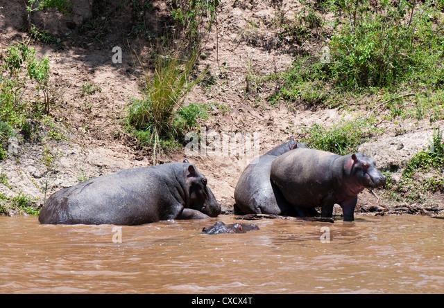 Hippopotamus (Hippopotamus amphibius), Masai Mara, Kenya, East Africa, Africa - Stock-Bilder