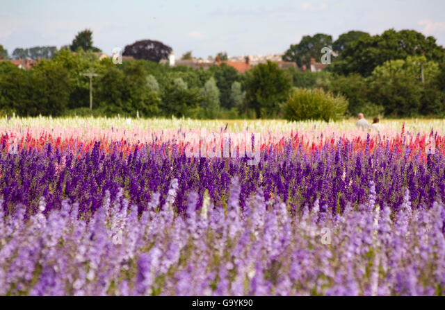 Pershore, Wick Worcestershire UK, 4th July 2016. Preparing for the hand picking of Petal from Delphiniums and Corn - Stock Image