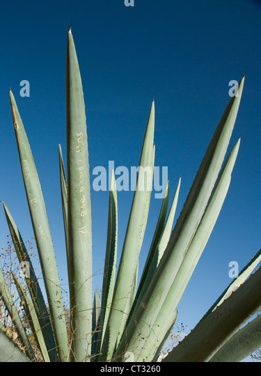 Agave tequiliana, Tequila agave, Succulent long leaves used in the production of the Mexican drink tequila against - Stock Image
