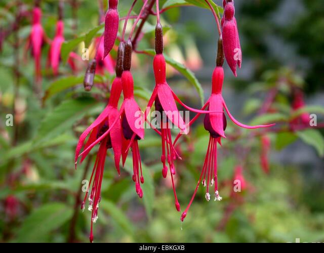 Magellanica stock photos magellanica stock images alamy for Fuchsia magellanica