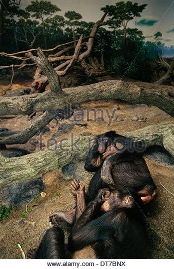 Bonobos in manmade habitat mimicking Congo forest Pan paniscus Cincinnati Zoo Ohio Congo - Stock-Bilder