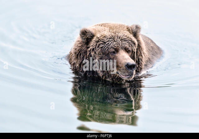 Coastal Brown Bear Fishing For Salmon in Katmai National Park, Alaska - Stock Image