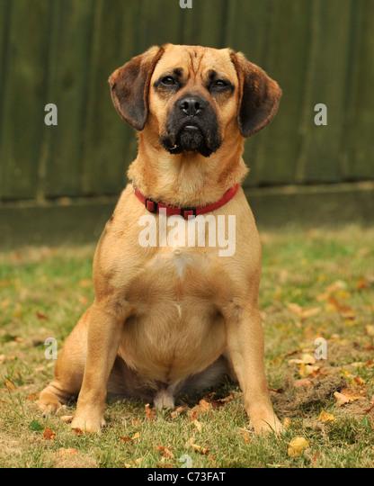 puggle dog - Stock Image
