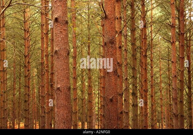Wiggonholt stock photos wiggonholt stock images alamy for Mature pine trees