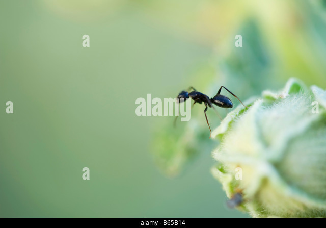 Argentine ant standing upright on edge of flower bud - Stock Image