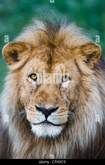 Male African Lion at Big Marsh, Ndutu, Ngorongoro, Tanzania - Stock Image