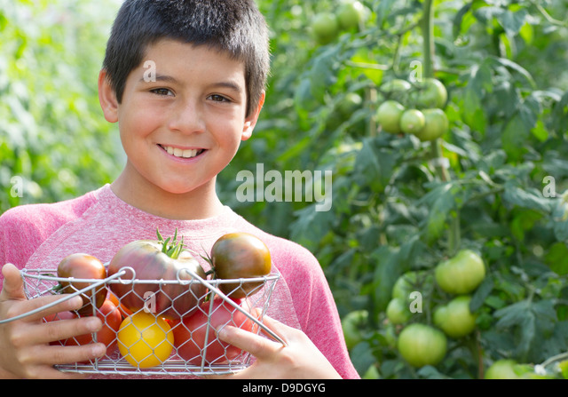 Boy picking fresh tomatoes - Stock Image