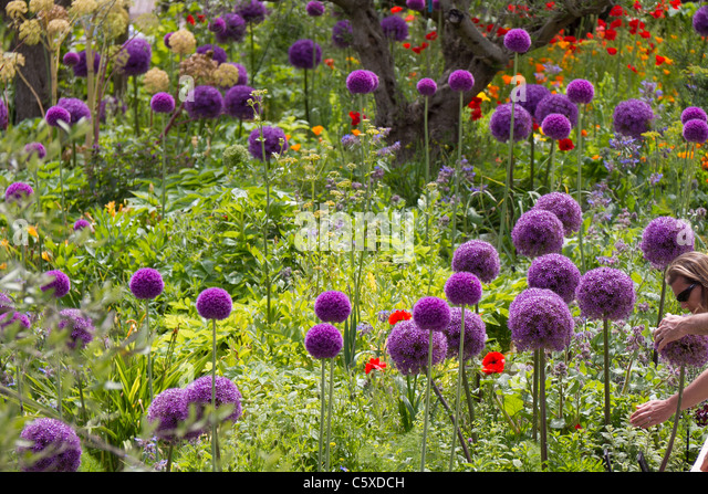 Giant Alliums, Christolpii and Purple Sensation - Stock Image
