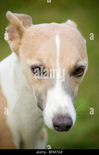 Portrait of the head of a  Whippet dog - Stock Image