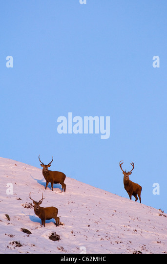 RED DEER Cervus elaphus  A group of stags in late evening light in the Scottish mountains Monadhliath Mountains, - Stock-Bilder