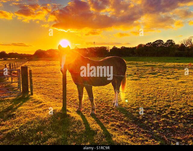 Horse at sunset - Stock Image