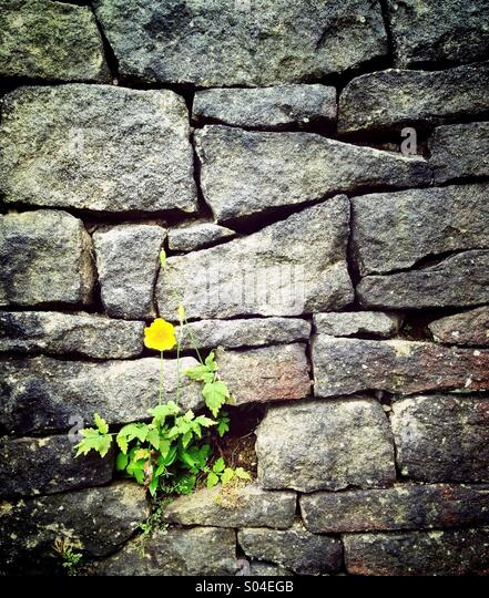 Yellow flower against grey stone wall - Stock Image