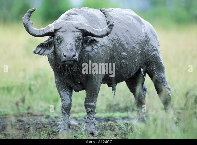 African buffalo covered with mud Queen Elizabeth Park Uganda - Stock-Bilder