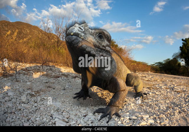 Rhinoceros Iguana, Cyclura cornuta, Isla Cabritos National Park, Lago Enriquillo, Dominican Republic - Stock Image