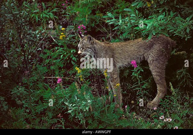lynx-in-alpine-flowers-teklanika-river-a