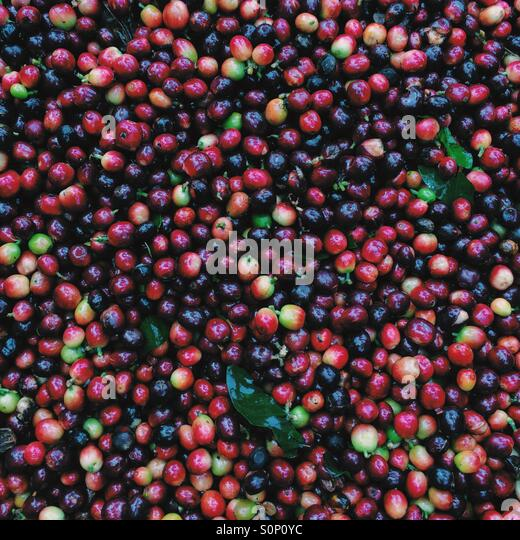 Fresh picked coffee berries - Stock Image