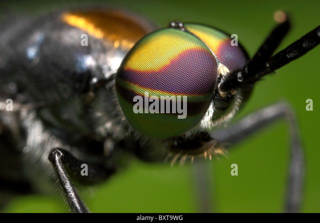 Compound eyes of a Fly at approximation - Stock Image