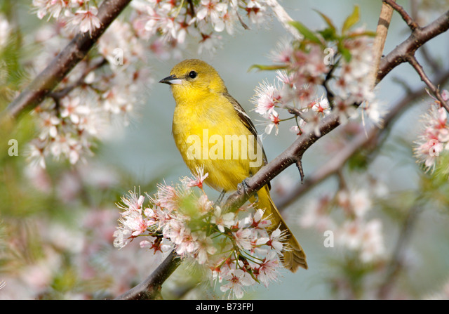 Female Orchard Oriole Perched in Cherry Blossoms - Stock Image