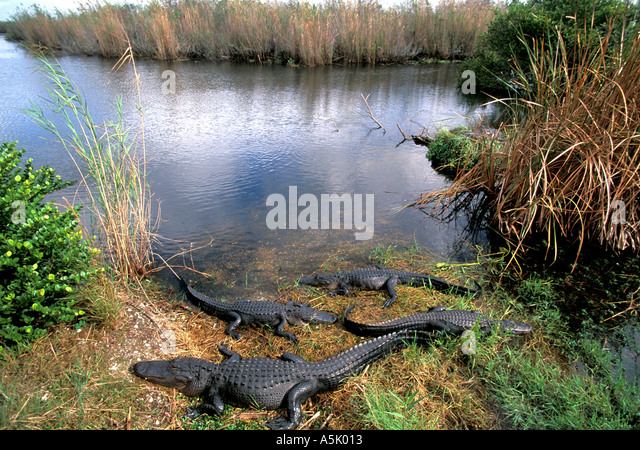 Florida Everglades National Park alligators sunning on bank - Stock Image