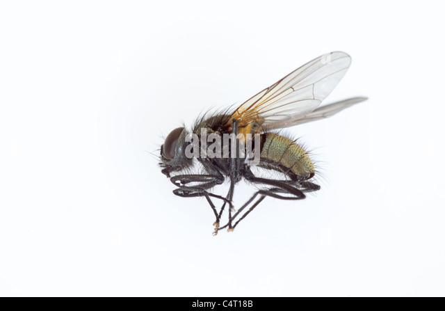 House-Fly on White Background - Stock Image
