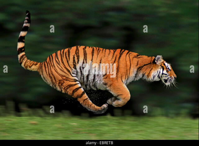 tiger (Panthera tigris), lateral running, action - Stock Image