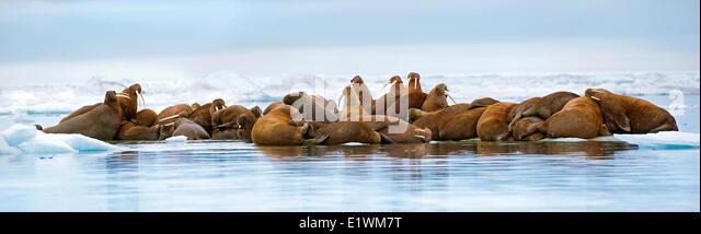 Pacific Walrus, Odobenus rosmarus, haul out on sea ice Canadian Arctic, - Stock Image