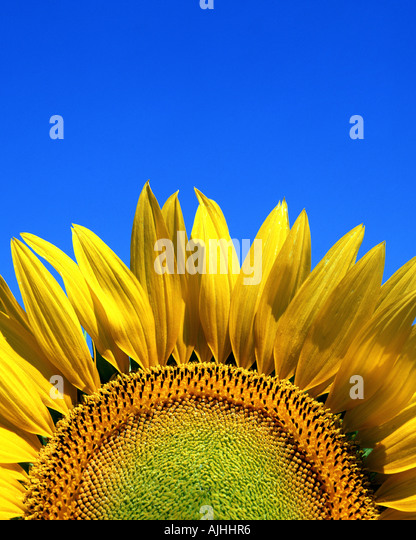 FLORA:  Sunflower (lat: helianthus) - Stock Image