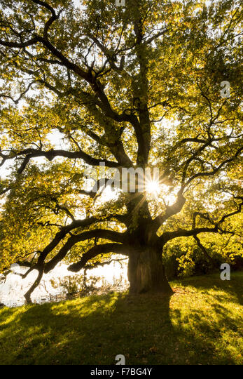 Old Oak Tree, Quercus, UNESCO World Heritage Site, Landscape Garden of Lednice Castle, Lednice, South Moravia, Czech - Stock Image