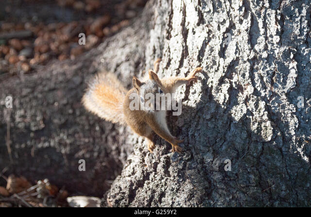An alert American red squirrel (Tamiasciurus hudsonicus) on the base of an elm tree in Emily Murphy Park in Edmonton, - Stock Image