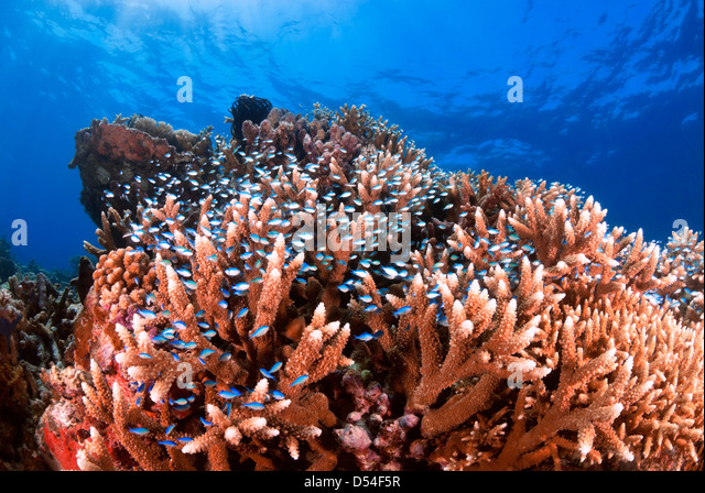 Staghorn Coral Reef with Reef Fish, Great Barrier Reef, Coral Sea, Pacific Ocean, Queensland, Australia - Stock Image