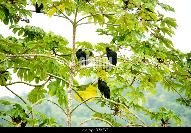 several vultures in a tree in Costa Rica - Stock Image