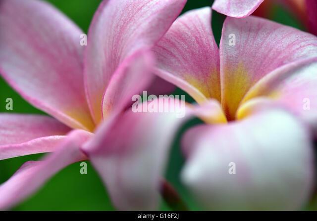 Flowers (Frangipani) in Singapore - Stock Image