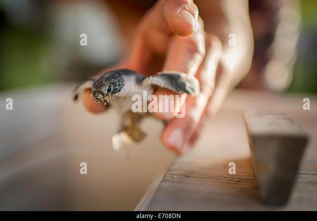 Mid adult male holding sea turtle, focus on sea turtle - Stock Image