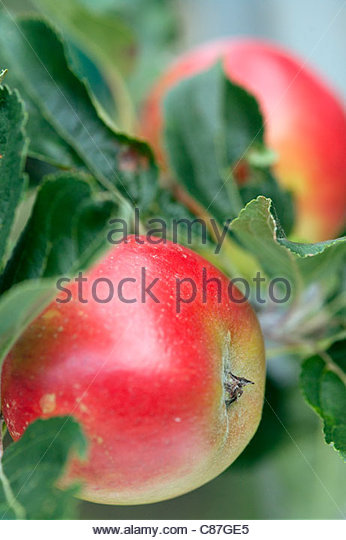 Apple 'Discovery' - Stock Image