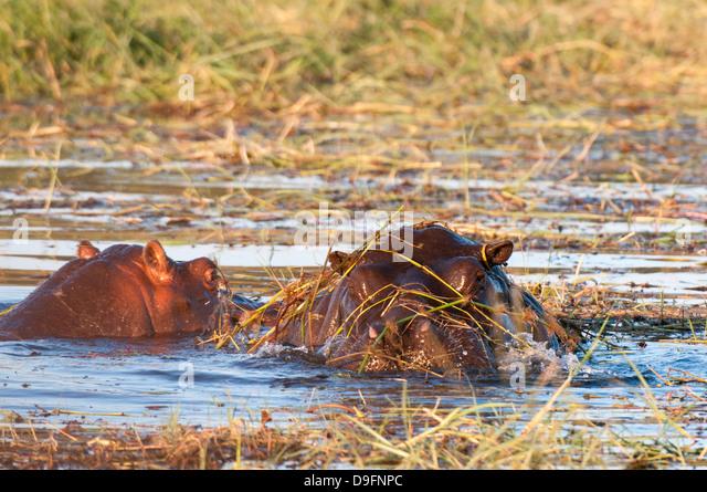 Hippopotamus (Hippopotamus amphibius), Chobe National Park, Botswana, Africa - Stock-Bilder