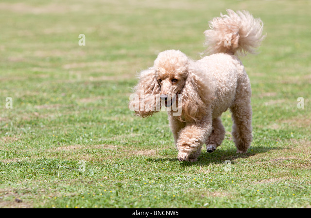 French Poodle in the Garden - Stock-Bilder