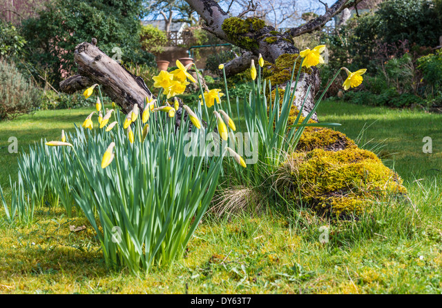Daffodils growing in garden under old apple tree in spring. Seventh of sequence of 10 (ten) images photographed - Stock Image