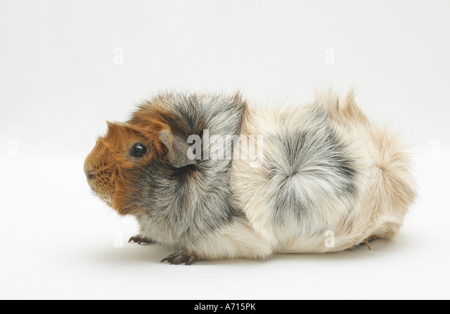 rosette guinea pig - cut out - Stock Image