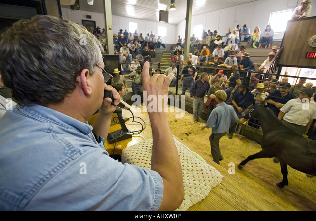 Auctioneer at horse auction - Stock Image