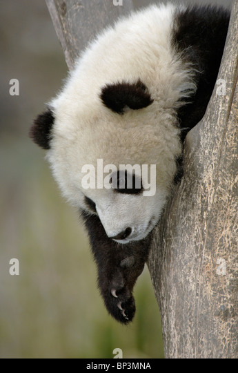 Young giant panda cub in fork of tree, Wolong, China - Stock Image