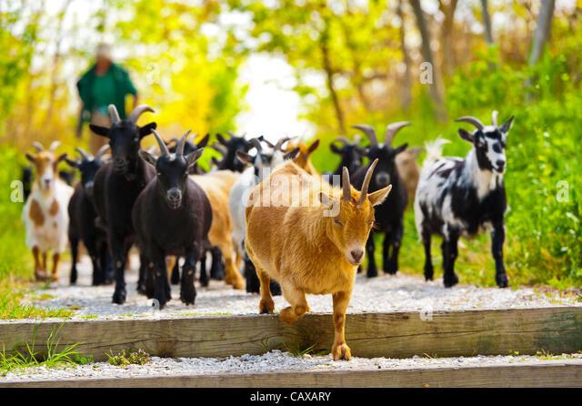 nigerian-dwarf-goats-walk-on-path-with-p